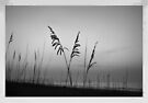 Sea Oats In B&W by Dawne Dunton