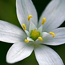 Grass Lily Up Close by Keld Bach