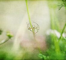 A spider in the Coriander flowers by Clare Colins