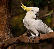 Morning visitor - sulphur-crested cockatoo by Celeste Mookherjee