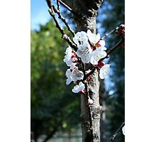 Apricot blossom 2 Photographic Print