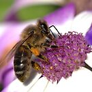 Honey Bee by Janette Rodgers