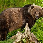 North American Grizzly Bear by RNicholas