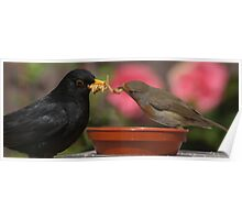 Blackbird and Robin tug of war for Mealworm Poster