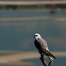 A hawk on Lake Dumbleyung by Adrian Kent