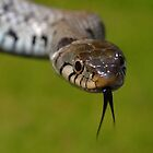 European Grass Snake by ChrisBalcombe