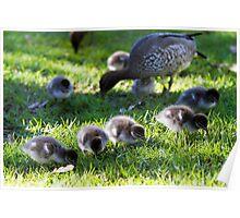 Australian Wood Ducks Poster