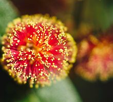 Red Wattle by Trudi Skinn
