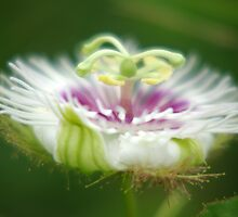 Passion Flower by Rainy