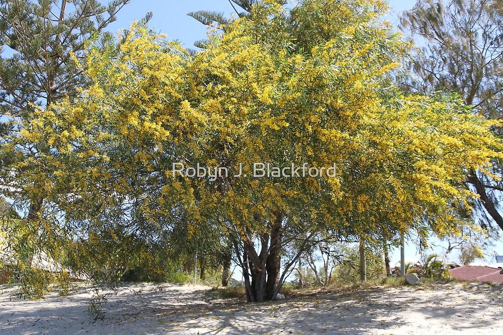 Blooming Wattle Tree by aussiebushstick