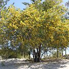 Blooming Wattle Tree by aussiebushstick
