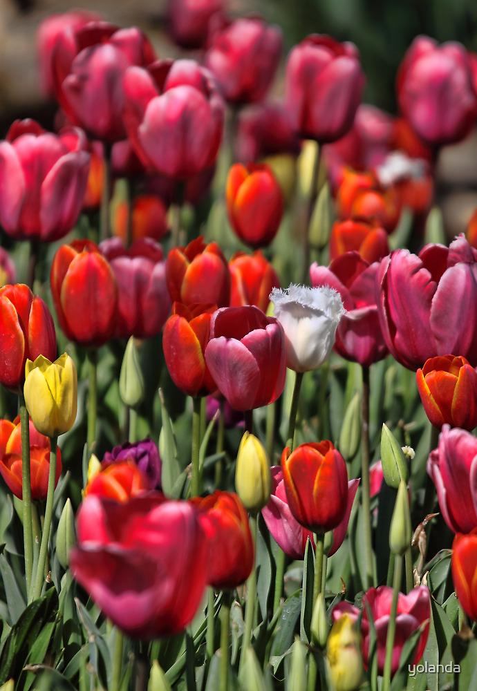 Colours of Tulip by yolanda