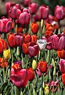 Colours of Tulip by yolanda
