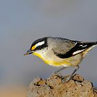 Striated Pardalote  #1 by DIZZYHEIGHTS