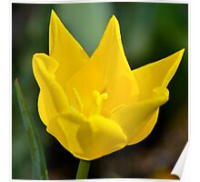 Yellow Tulip Poster