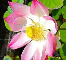 Pink Lotus of Peace by Citisurfer