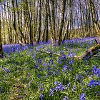 Bluebell Woods Nr. Charing Kent by Pancake76