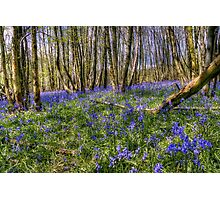 Bluebell Woods Nr. Charing Kent Photographic Print