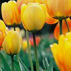 Yellow Tulips by Citisurfer