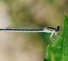 Damselfly, This Looks Really Good and Yummy by Photography by TJ Baccari