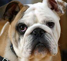 American Bulldog by taiche
