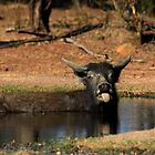 Cooling off .....Wild Buffalo style by myraj