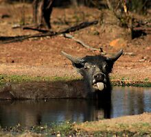 Cooling off .....Wild Buffalo style by myraj