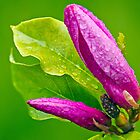Purple Magnolia by Keld Bach