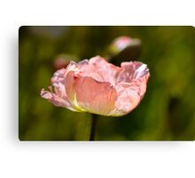 Peach Poppy Canvas Print