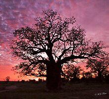 Boab Trees of Derby & West Kimberley Region of Western Australia. © M.J. Foster  by Mary Jane Foster