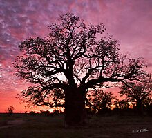 Boab Tree at sunset with a mackerel sky, Derby, Western Australia. by Mary Jane Foster