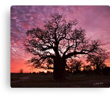 Boab Tree at sunset with a mackerel sky, Derby, Western Australia. Canvas Print