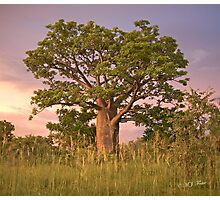 Boab Tree facing sunset. Photographic Print