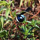 Superb Fairywren. by Emily-RoseIrene
