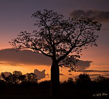 Boab Tree at sunset along the Derby Highway. West Kimberley Region of Western Australia. by Mary Jane Foster