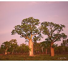 Boab Trees facing the setting sun. Derby, West Kimberley Region of Western Australia. Photographic Print