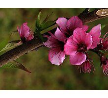 Pink Flower - Tree Photographic Print