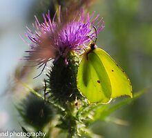 brimstone butterfly by Steve Shand