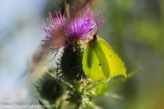 brimstone butterfly by Steve Shand