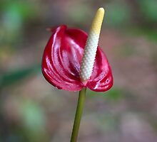 Miniature Red Anthurium by Kerryn Madsen-Pietsch