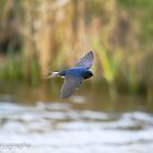 swallow in flight by Steve Shand