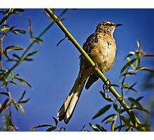 Northern Mockingbird Photographic Print