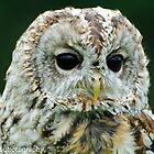 tawny owl close up by Steve Shand