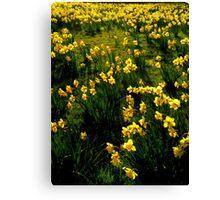 Kew Daffodils Canvas Print