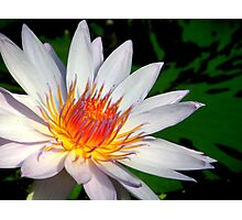 White Waterlily Photographic Print