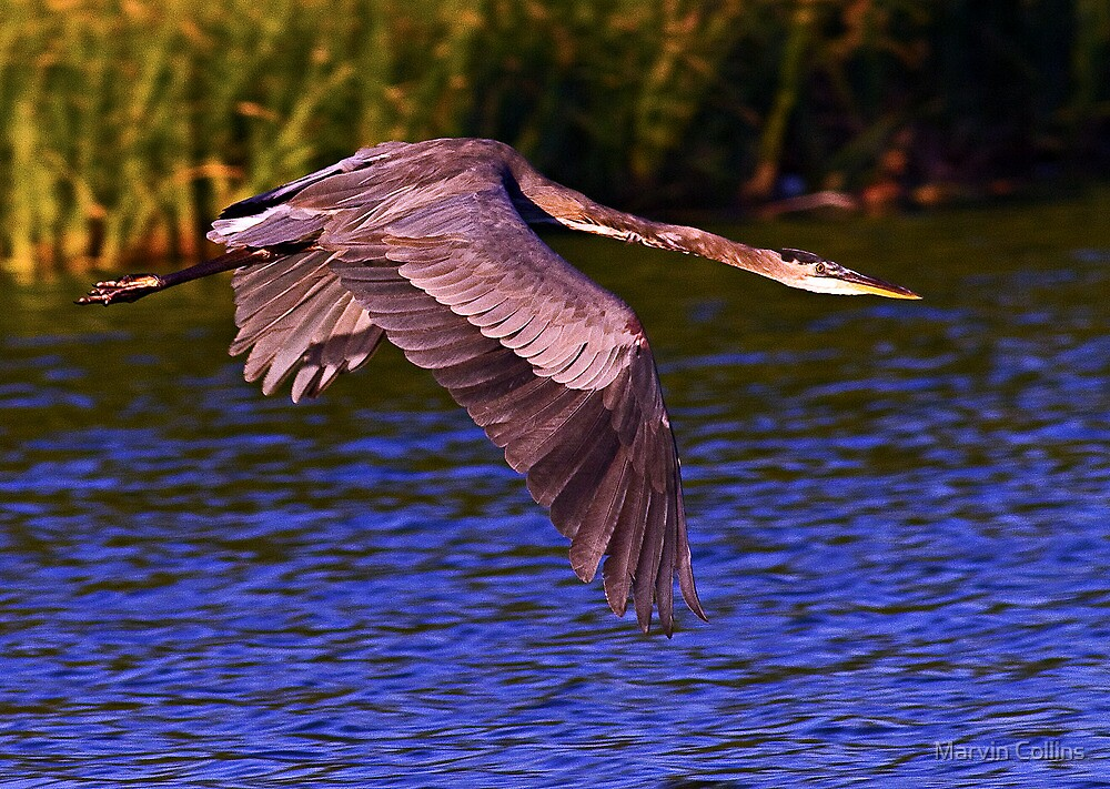 0915121 Great Blue Heron by Marvin Collins