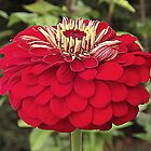 Red Zinnia by Rusty Katchmer