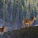 Mountain Goats by Dawne Olson