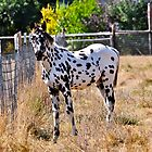 Appaloosa Foal by scenebyawoman