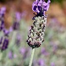 Lavender by Bami